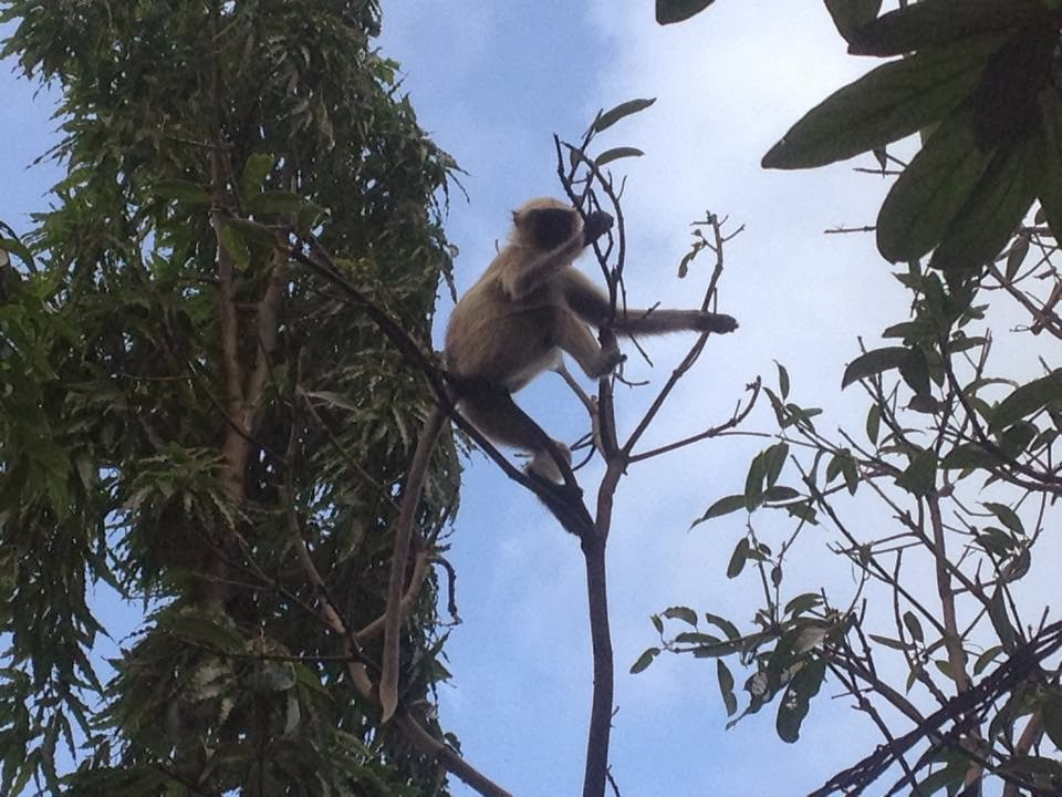 monkey at junagadh