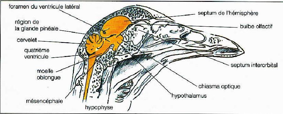 Anatomie Poule le monde d'élevage: l'anatomie des volailles