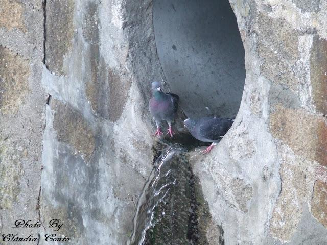 Fotografia de duas pombas mesmo na saída de água. A tranquilidade com que bebem água enquanto me metia com elas pela objetiva. Provavelmente terei tido sorte, porque estão habituadas a lidar com pessoas, ou apenas a fracção de segundos necessária para uma boa fotografia.