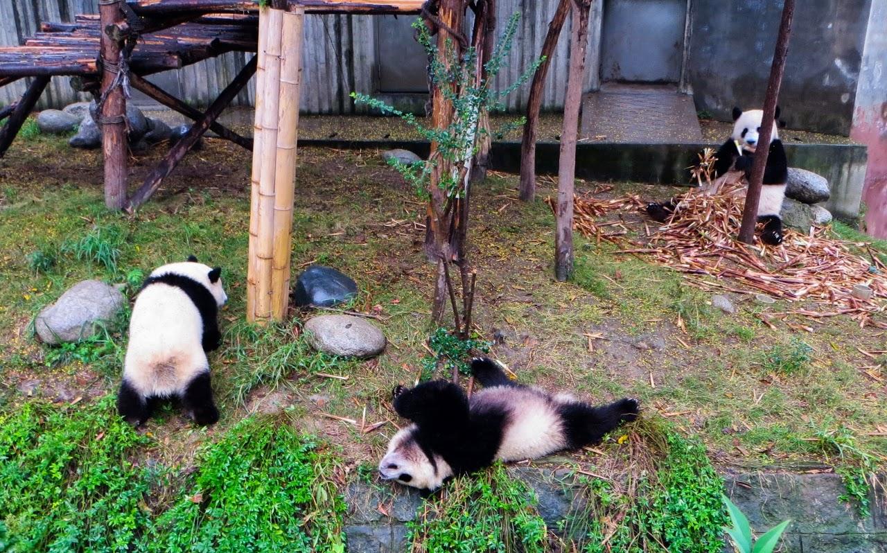 Centro de criação do panda gigante