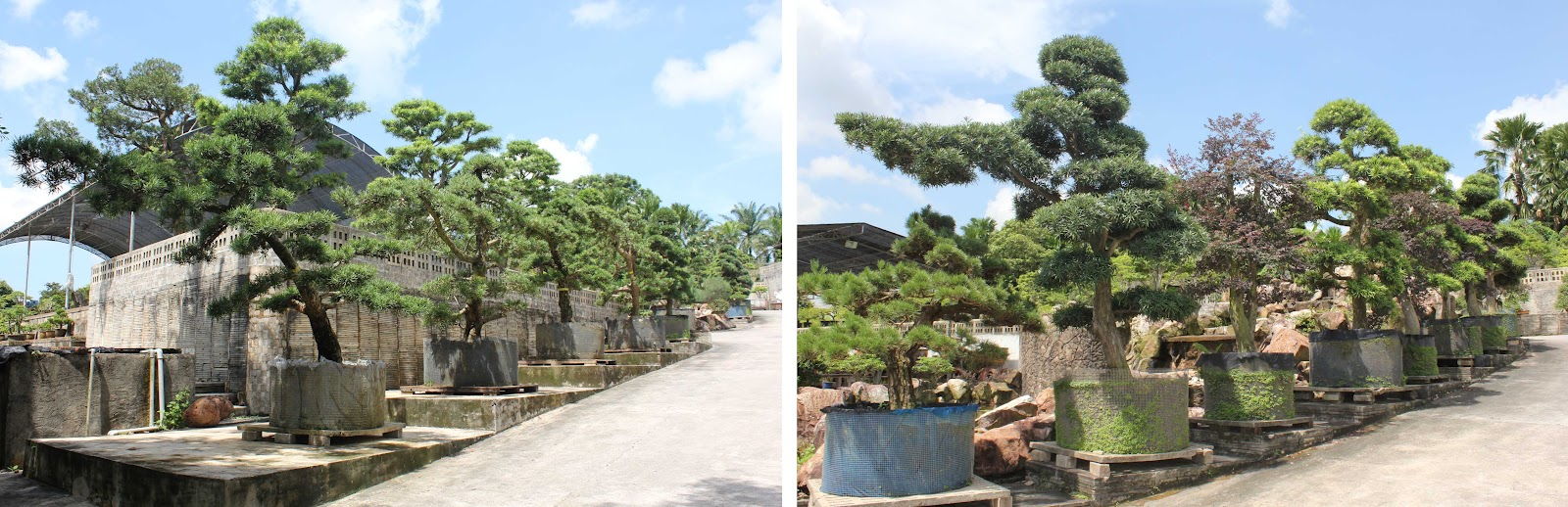 A Of Images Below Are The Largest Oriental Style Garden Trees In Nursery