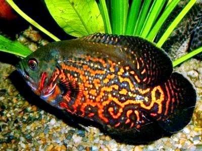 Gambar Ikan Oskar