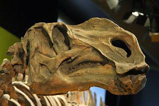 L'Adrosauro lungo 9 metri, alto 3 metri e pesava 7 tonnellate