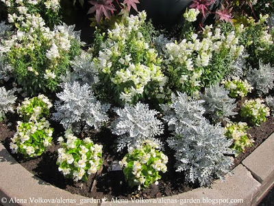 клещевина, Ricinus communis, белая бегония вечноцветущая, Begonia semperflorens, цинерания приморская, Cineraria maritime, торговый центр, Рига