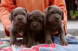 Mastino del Napoletano Puppies