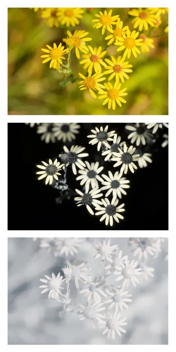 Comparison of Jacobaea vulgaris (Common Ragwort) flowers photographed in visible light (top), ultraviolet light (middle), and infrared light (bottom)