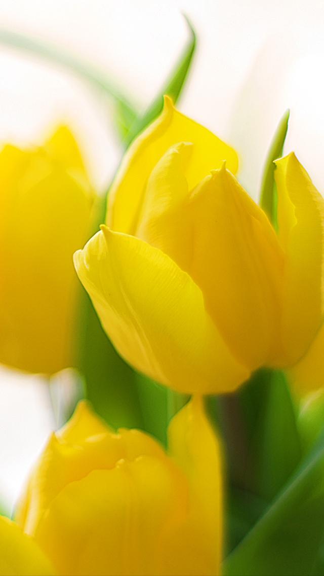 Free Download Spring Flower 2013 Iphone 5 Hd Wallpapers Gambar Joss