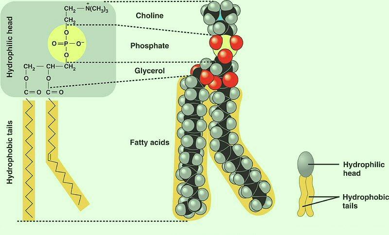 Seven Days Per Week Stpm Biology Biological Molecules Part 11