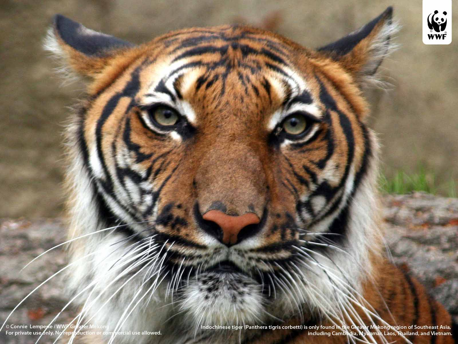 HQ Wallpapers: South China Tiger Pictures