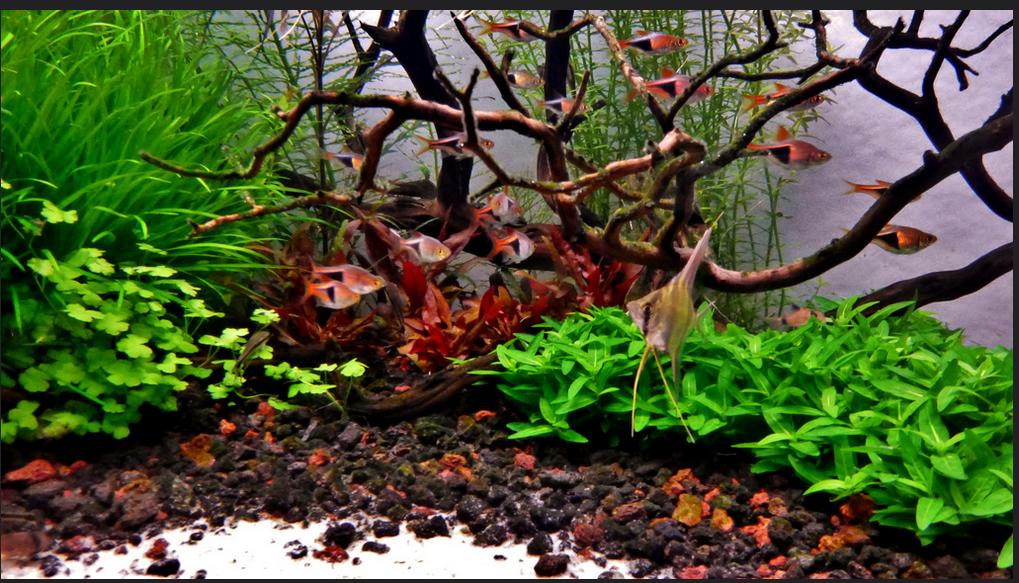 Cây rau thơm trong bể thủy sinh