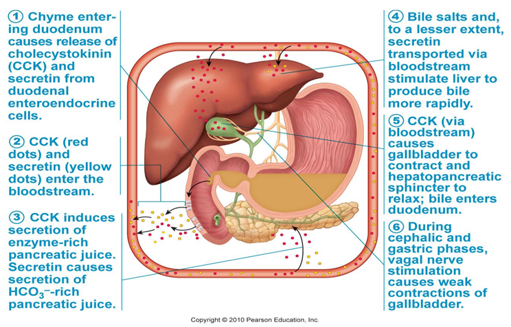 Stomach Medicine Small Intestine And Associated Structures