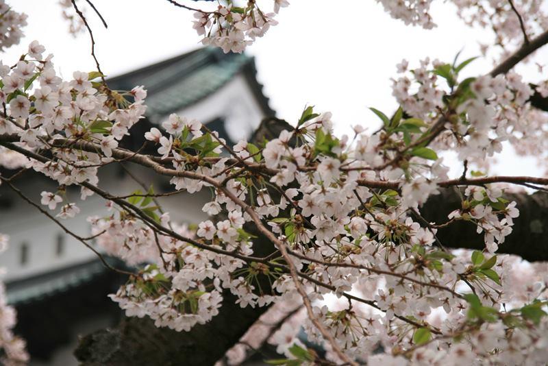Hirosaki Sakura Cherry Blossom Festival, Japan
