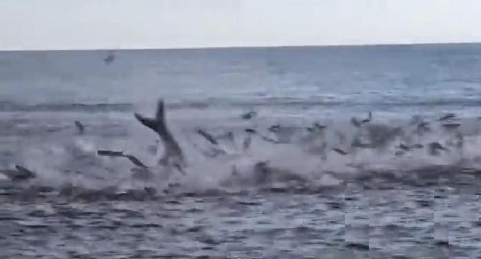 International fishing news florida mullet run incredible for Mullet fish florida