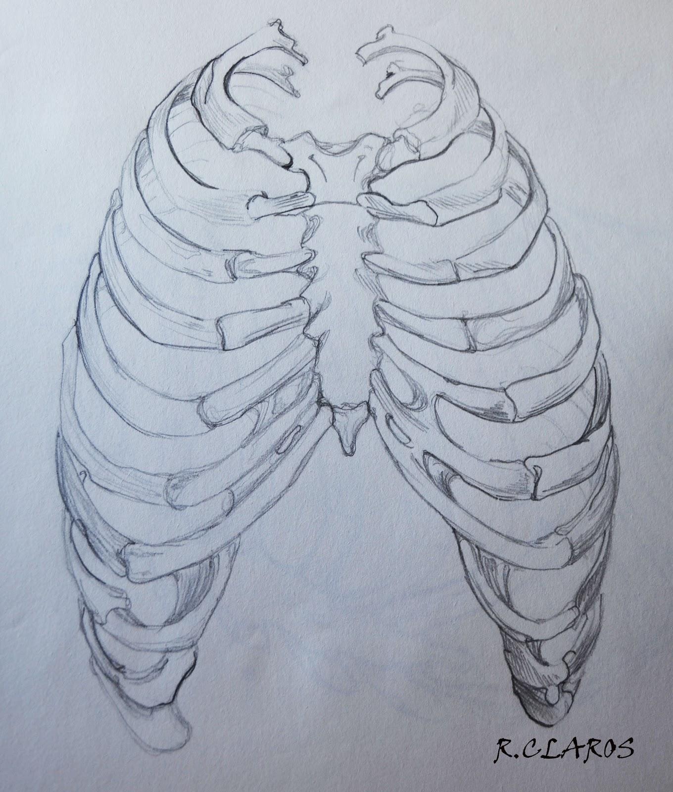 Dibujo Anatomía Artistica -Costilla | R.CLaros