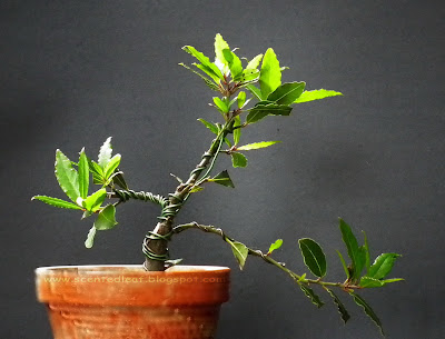 small Bay Laurel bonsai (Laurus Nobilis)