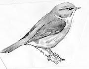 Dibujos a lapiz sobre Curruca mosquitera. Publicado por NOR en viernes