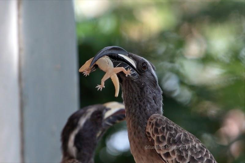 African grey hornbill (Tockus nasutus) with a gecko