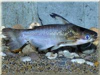 Zamora Catfish Pictures
