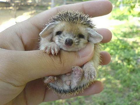 golf charlie papa cute hedgehogs