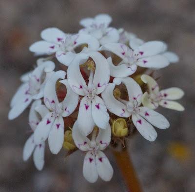 Posy Triggerplant (Stylidium crossocephalum)
