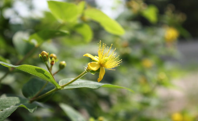 St Johns Wort Flowers Pictures