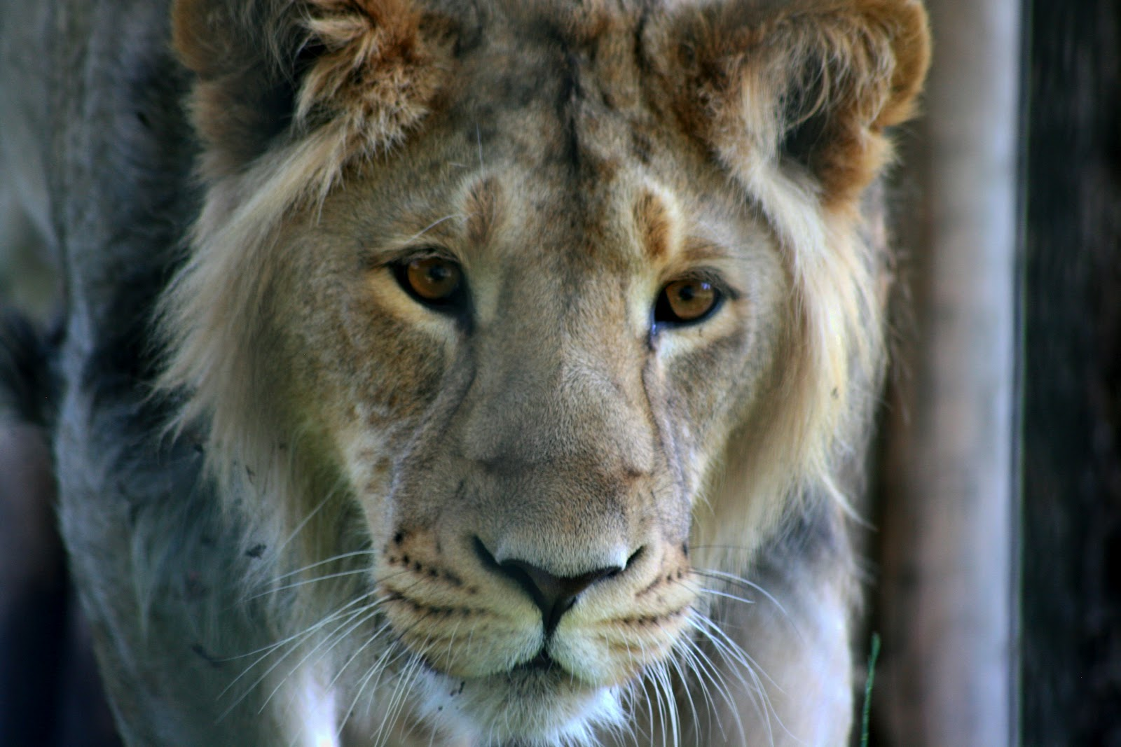 Panthera leo persica - photo#21