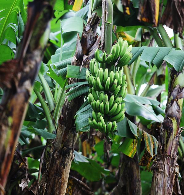 banana tree grenada, caribbean,
