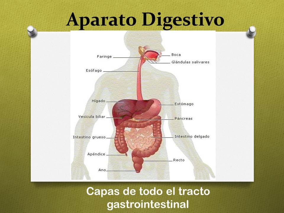 Fisiología Básica: Capas del tracto gastrointestinal