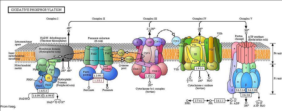 Resultado de imagen de Cadena de transporte de electrones