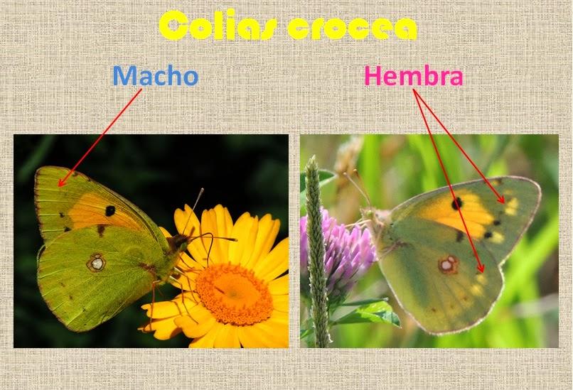 Diferencias entre machos y hembras de Colias crocea