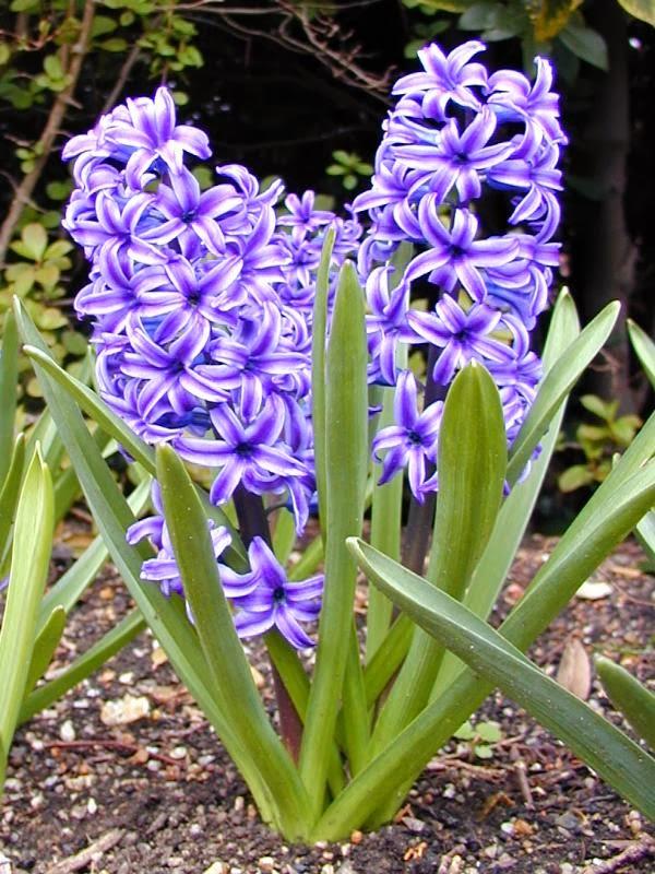 peces y plantas ornamentales hyacinthus spp jacinto