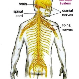 Human nervous system new science biology peripheral nervous system pns ccuart Images