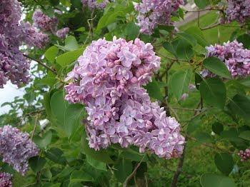 lilac ..