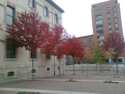 Liquidámbares con sus hojas de color rojo.