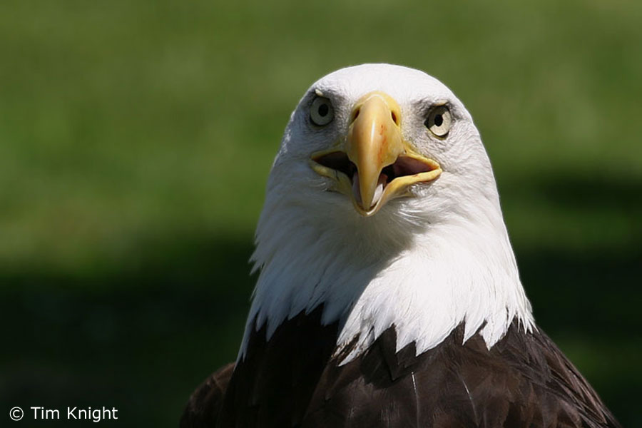 Cute birds wallpapers eagle desktop wallpapers eagle desktop wallpapers voltagebd Image collections