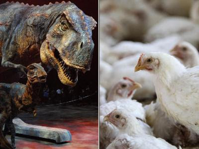 buongiornolink - Galline come dinosauri, l'uovo sbollito e la legge della pipì