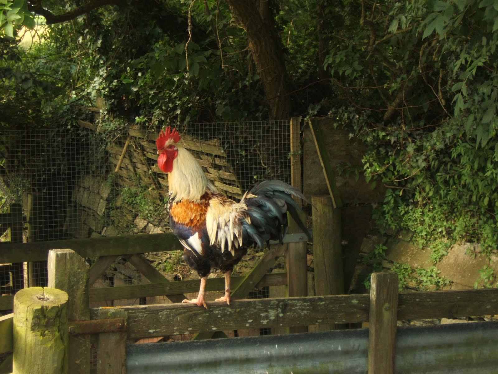 Bellecross Hens Poultry Catch Up