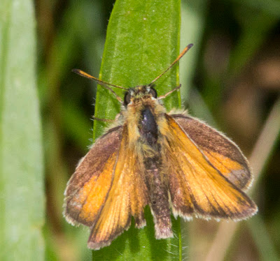 Essex Skipper,Thymelicus lineola (confirmed by close examination).  Butterfly walk in Jubilee Country Park, Sunday 17th July 2011.