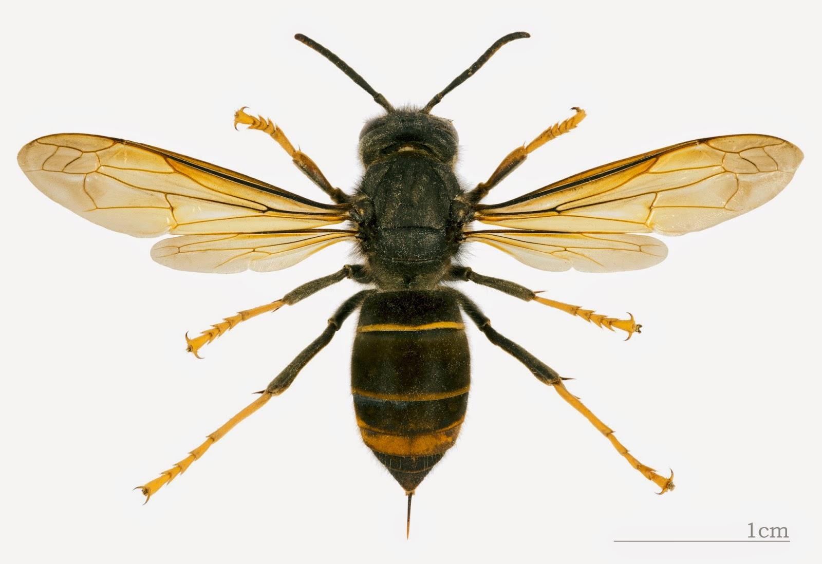 abeilles sur sa ne lutte contre les frelons asiatiques et recensement. Black Bedroom Furniture Sets. Home Design Ideas