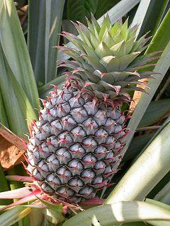 قائمة الفواكه 240px-Pineapple1