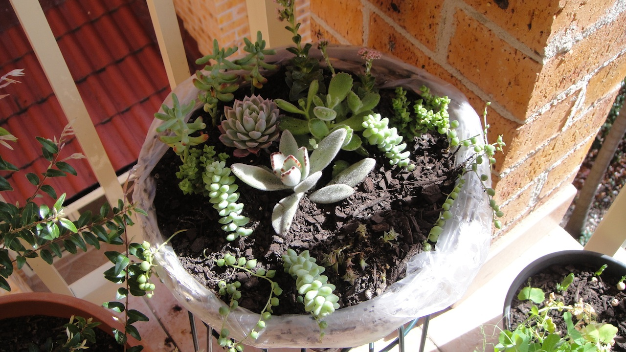 how to grow snip succulents