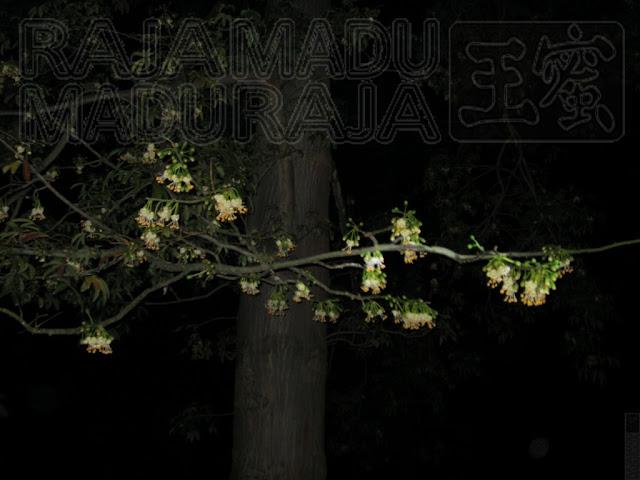 Pohon Kapuk Randu Berbunga