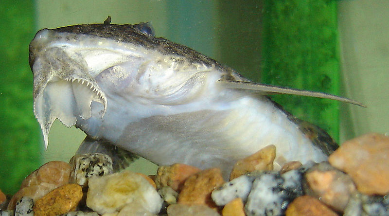 Whiptail catfish - Rineloricaria