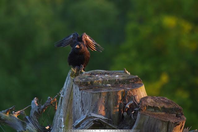Deze Kraai zat rustig zijn veren te poetsen in het laatste avondlicht - This Crow was cleaning its pluimage in the late evening sun