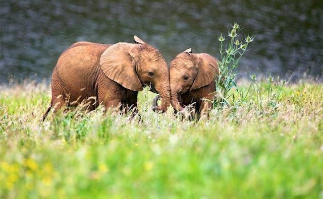 Hai chú voi con đang giỡn