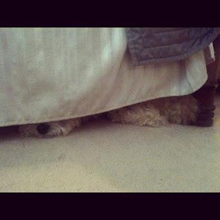 maltipoo hiding