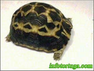 Neonato de Pyxis arachnoides - La tortuga araña