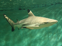 Blacktip Reef Shark - Carcharhinus Μelanopterus