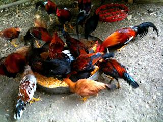 alimnentación gallos pelea, gallos de pelea, gallos finos,