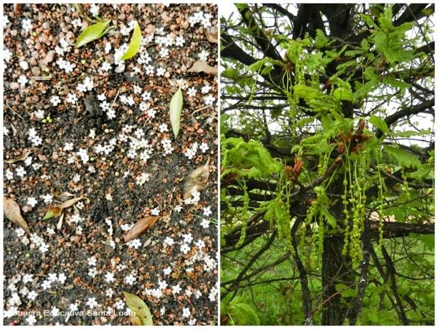 Flores de transparente - brotos y floración - Chacra Educativa Santa Lucía